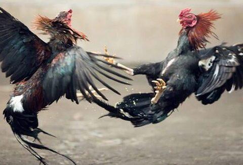 Panduan Bermain Sabung Ayam Secara Online